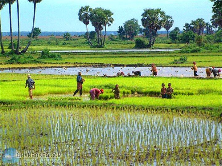 poem of planting rice